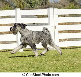 Standard Schnauzer - A young salt and pepper, gray Standard...