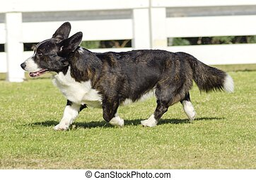 Welsh Corgi Cardigan - A young, healthy, beautiful, brindle,...