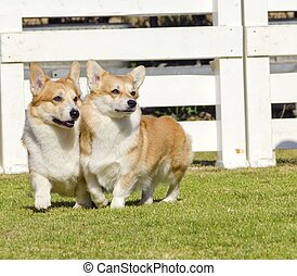 Welsh Corgi Pembrokes - Two young, healthy, beautiful, red...