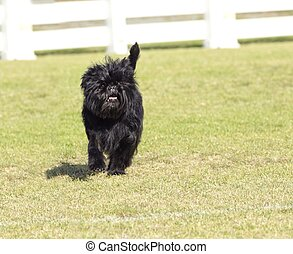Affenpinscher dog - A small young black Affenpinscher dog...