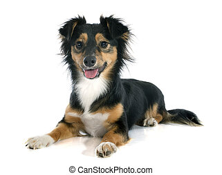 Mixed-Breed dog - Mixed-Breed dog in front of white...