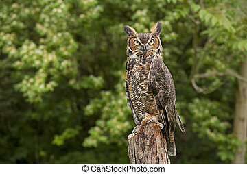 Great Horned Owl - Portrait of a adult Great Horned Owl Bubo...