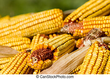 Coen cobs - Close up of corn cobs on pile