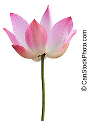 Pink waterlily isolated on white background