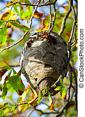 wasp nest hangs in a tree with autumn leaves