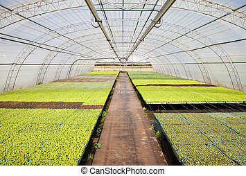 cultivation of vegetables in a greenhouse
