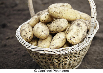 Harvest - Dirty potatoes in an old woven basket