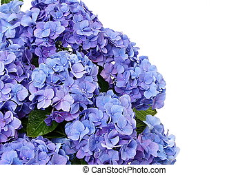 Beautiful blue hydrangea flower, left you can write some...