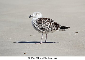 Juvenile Greater Black-backed Gull By The Ocean - Juvenile...
