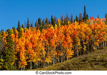 Fall in Steamboat Springs Colorado - Brightly colored orange...