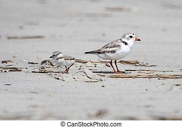 Endangered Piping Plover (Charadrius melodus) with a chick...