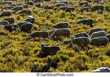 Fall in Steamboat Springs Colorado - Close up of large flock...
