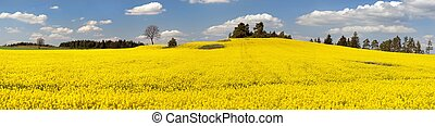field of rapeseed plant for green energy - panoramic view