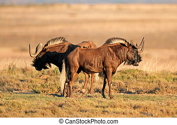 Black wildebeest - A pair of black wildebeest (Connochaetes...