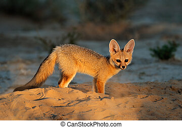 Cape fox Vulpes chama outside its den in early morning...