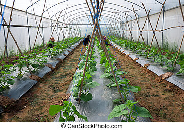 Cultivation under greenhouse