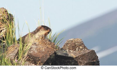 Marmot in the Alps. Summer.