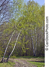 Spring birch - Curve birch hung over a dirt road in the...