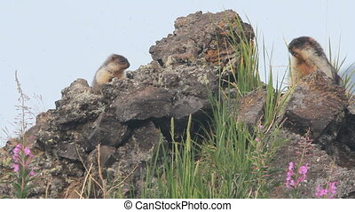 Marmot in the Alps Summer