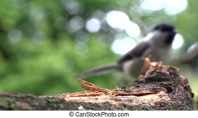 Willow tit in summer