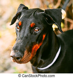 Close Up Black Doberman Dog Outdoor - Young, Beautiful,...