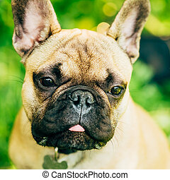 Dog French Bulldog Close Up Portrait Pet