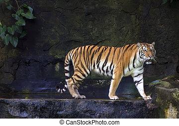 Liana and Siberian Tiger - Siberian Tiger Panthera tigris...