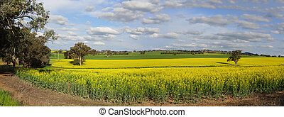 Canola Plantation crop - A canola plantation crop in country...