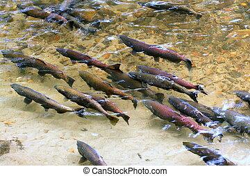 King Salmon Spawning - King (Chinook) Salmon Spawning