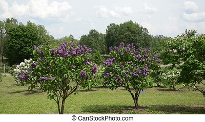 girl smell lilac tree - Happy blond girl smell lilac tree...