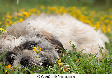 puppy is playing with the flowers - Little puppy in a field...