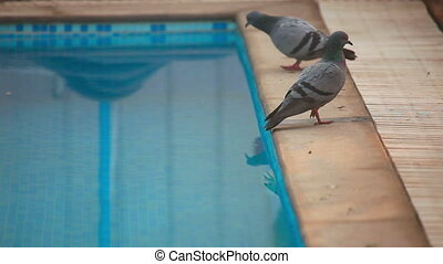 Pigeons drinking water from swimming pool