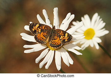 Pearly Crescent Spot on a Daisy - Pearly Crescent Spot...