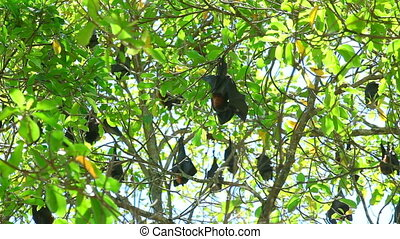 Flying foxes - Flock of Flying foxes at the tree
