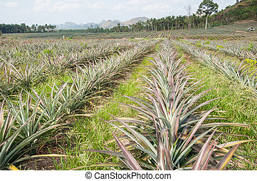 Rows of pineapple fruit ananas comosus growing in south of...