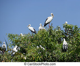 Asian Openbill Stork - A nest colony of the Asian Openbill...