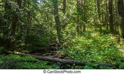 Oregon Lush Forest 642 - Time lapse of a beautiful lush...