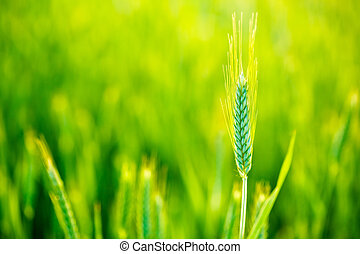 Green Wheat In Field At Sunset