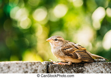 House Sparrow Passer Domesticus On Fence - Young Bird...