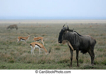 Wilderbeast - Serengeti Safari, Tanzania, Africa -...