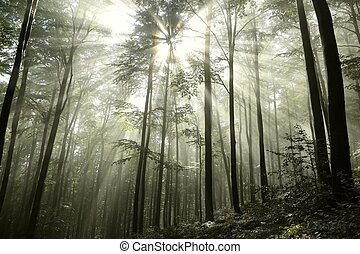 Beech forest in the fog after rainfall.