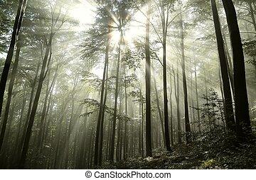 Haya, bosque, Niebla