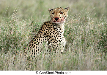 Cheetah - Serengeti, Africa - Cheetah - Serengeti Wildlife...