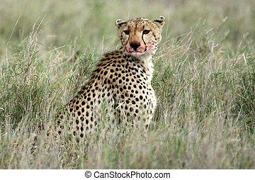Cheetah - Serengeti, Africa - Cheetah - Serengeti Wildlife...