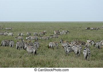 Zebra Herd - Serengeti Safari, Tanzania, Africa - Serengeti...