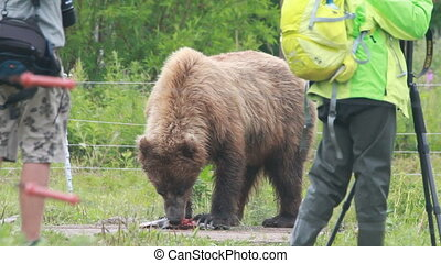 eco-tourism - Grizzly Bear with salmon, eco-tourism, summer