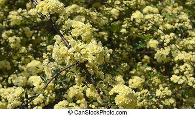 Rosa Banksiae. Taken in the spring of Japan.
