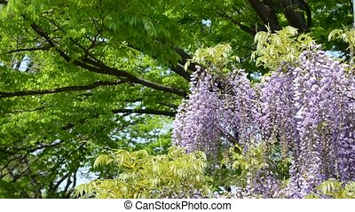 Wisteria trellis. Taken in the spring of Japan.