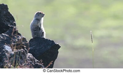 Marmot in the Alps. Summer.