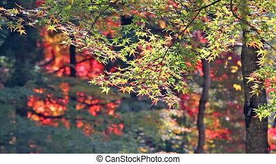 Red maple trees in a japanese garden for adv or others...